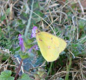 Orange Sulphur Upson December11, 2007.jpg