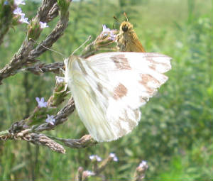 checkered white1.jpg