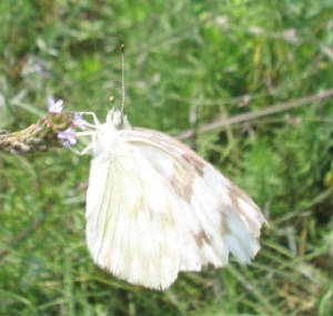 checkered white 2.jpg