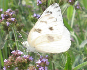 checkered white 4.jpg