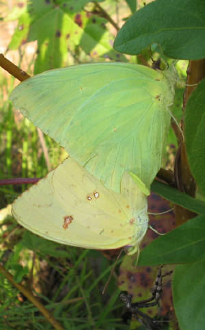 cloudless sulphurs mating.jpg