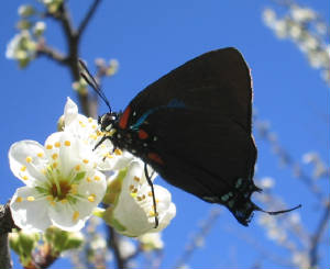 great purple hairstreak 2.jpg
