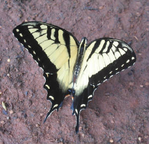 male eastern tiger swallowtail.jpg