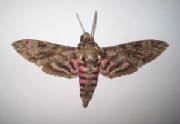 pink spotted hawkmoth.jpg