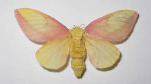 rosy maple moth.jpg