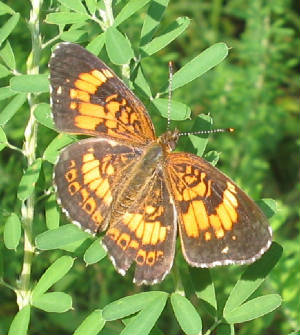 sivery checkerspot Rum Creek W.M.A..jpg