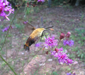 snowberry clearwing.jpg