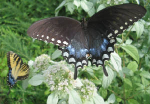 spicebush and tiger swallowtails.jpg