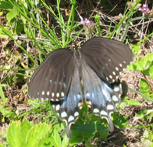 spicebush female.jpg