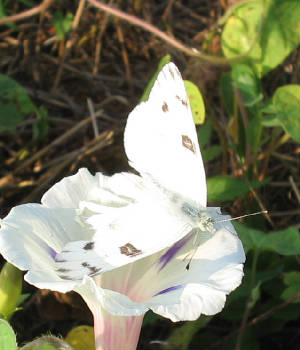 upson checkered white.jpg