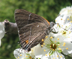 white m hairstreak 1.jpg