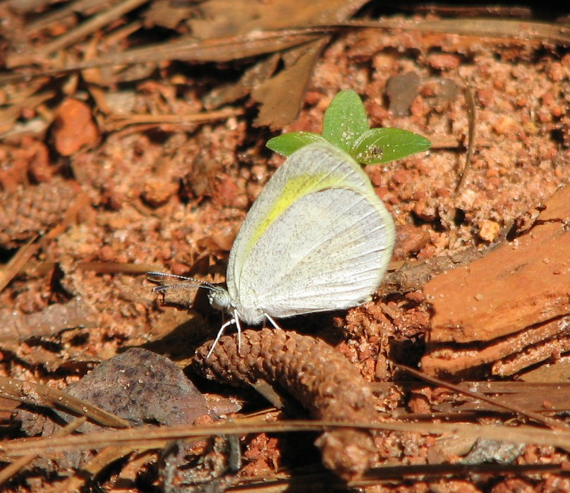 barred yellow talbot.jpg