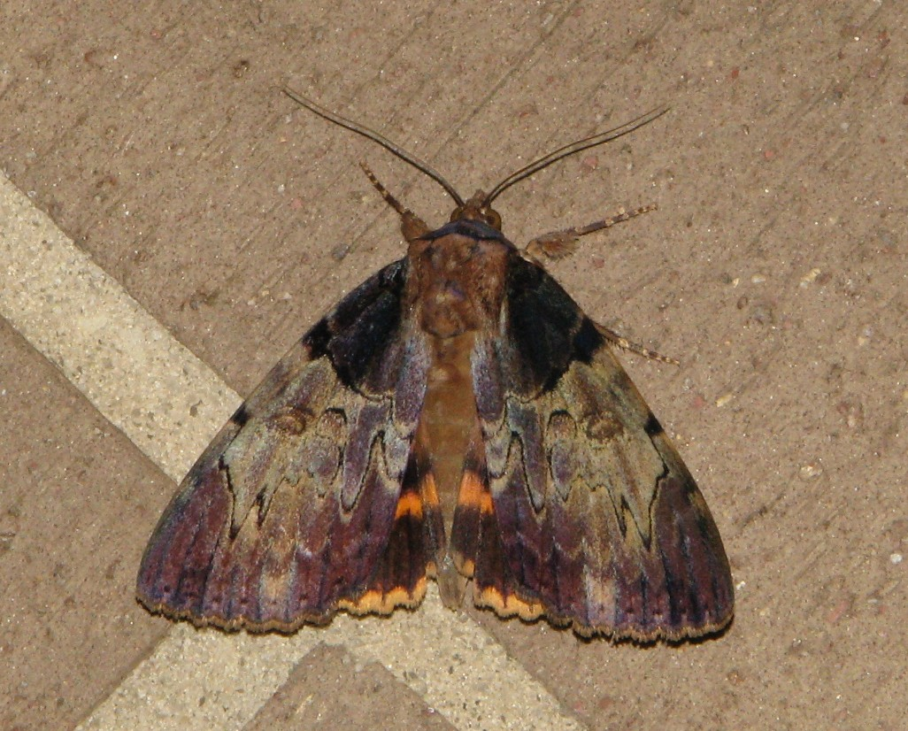 clouded underwing atlanta.jpg