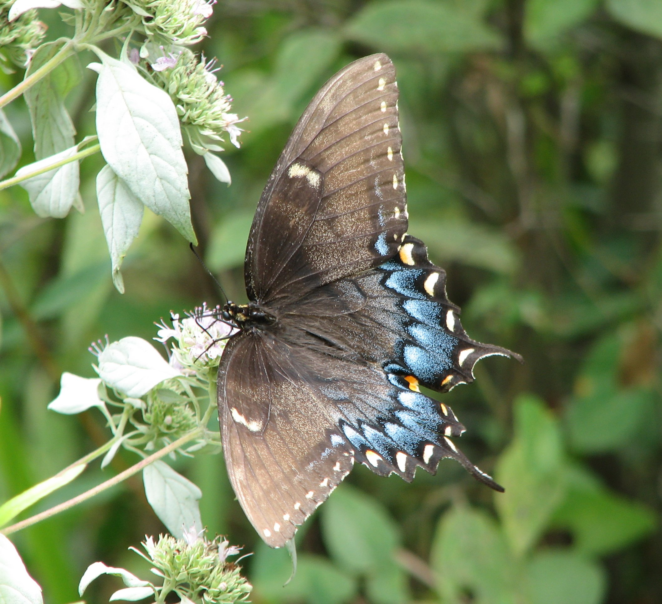 female eastern tiger swallowtail talbot county.jpg