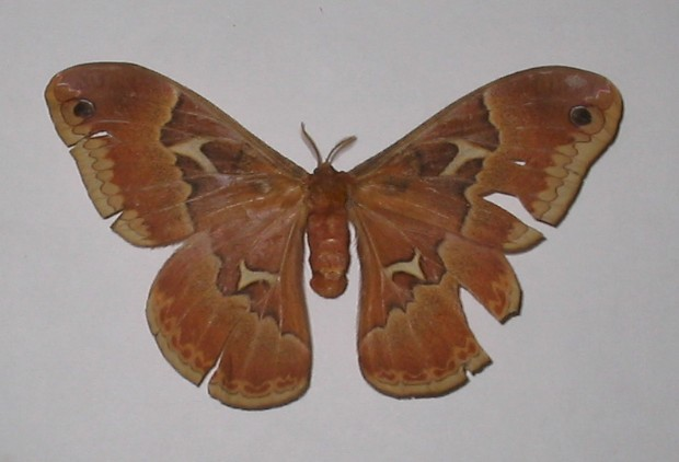 female tulip tree silkmoth.jpg