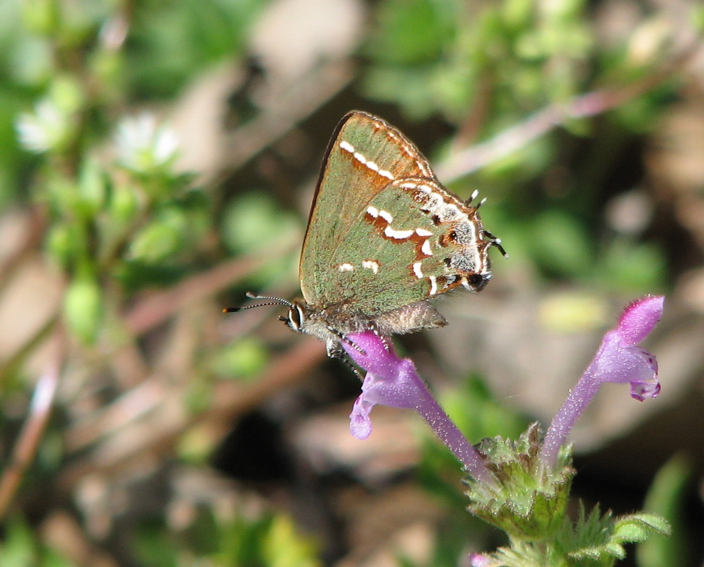 Olive Hairstreak Upson County March 2008.jpg