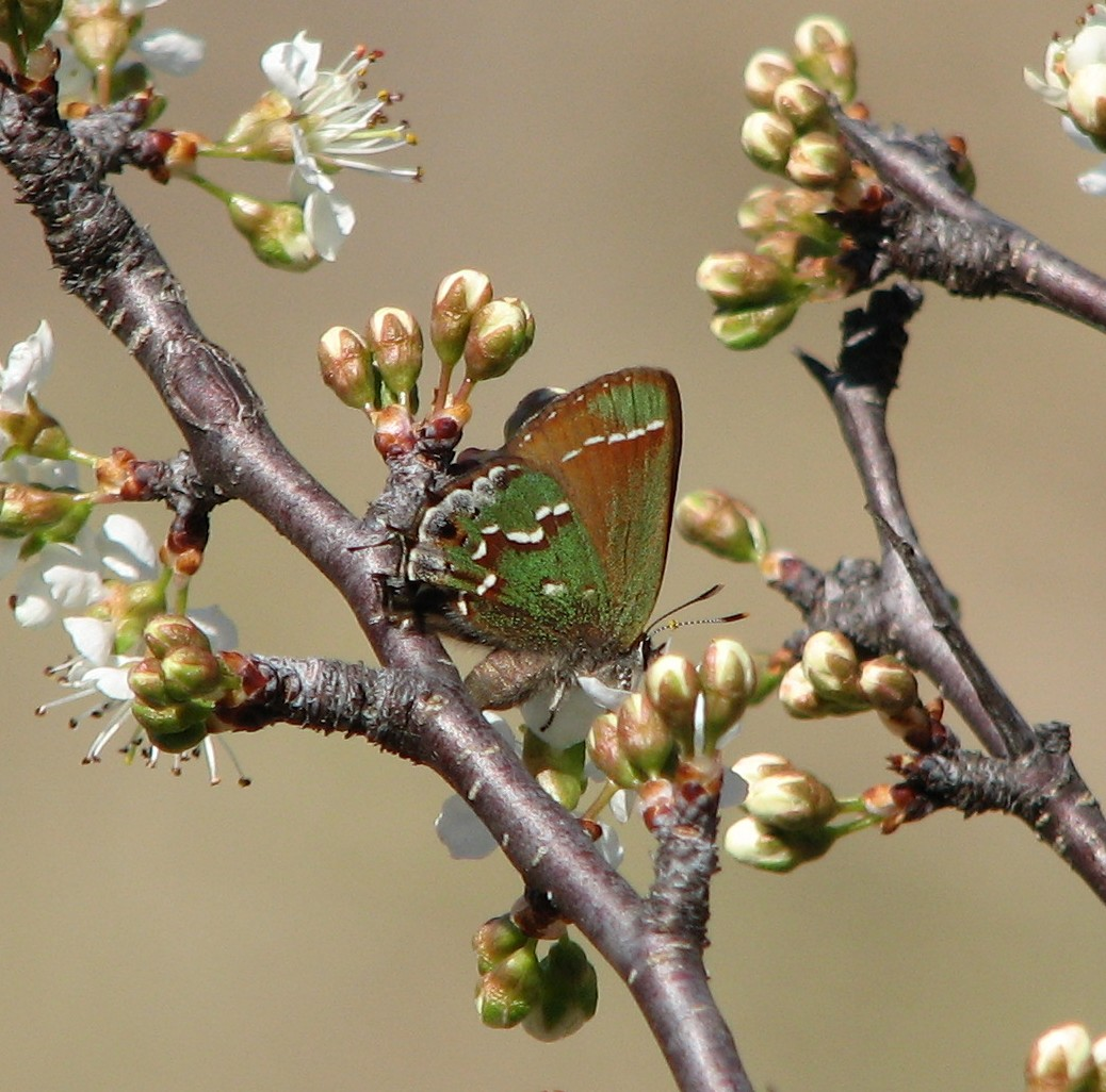olive hairstreak (Upson) March 2, 2008.jpg