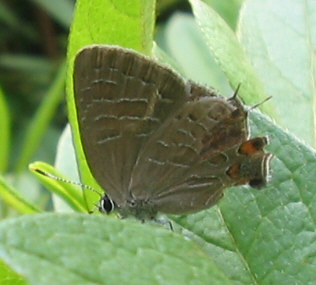 striped hairstreak monroe.jpg