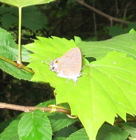 striped hairstreak sprewell bluff.jpg