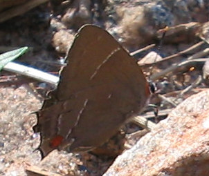 white-m hairstreak 2.jpg