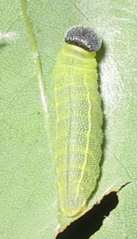 zaruccocaterpillar.jpg