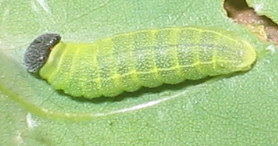 zaruccocaterpillar2.jpg
